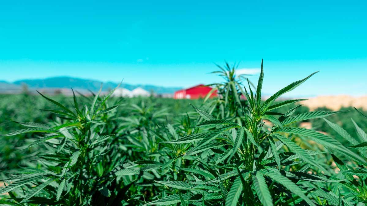 2018 Farm Bill: Hemp and CBD Prohibition Ends!