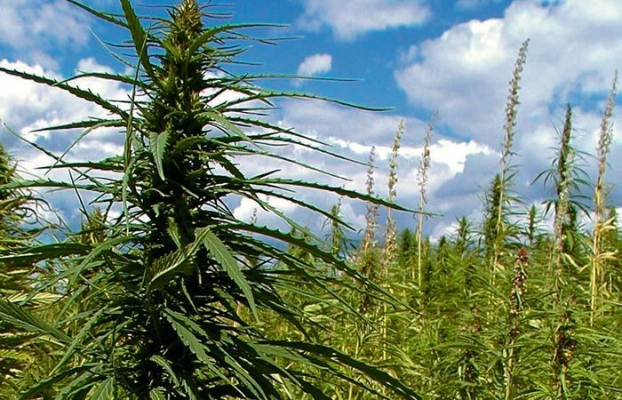 field of hemp near Arborg - Billy Dudek photo